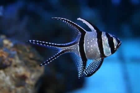 BANGGAI_CARDINAL_FISH