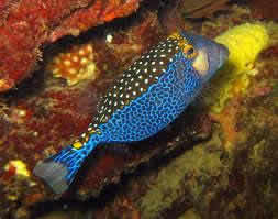 BLUE_BOX_FISH_3