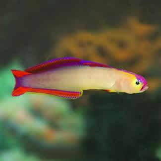 FIRE_FISH