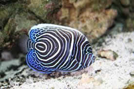 JUVENILE_EMPEROR_ANGEL_FISH