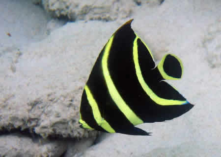 JUVENILE_FRENCH_ANGELFISH