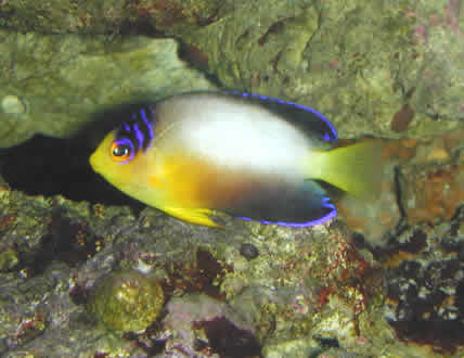 MULTICOLOR_ANGEL_FISH
