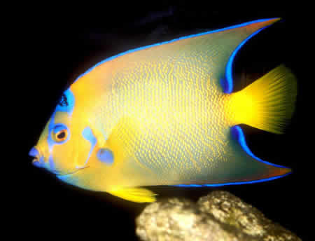 QUEEN_ANGEL_FISH_2
