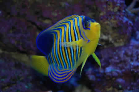 REGAL_ANGEL_FISH_2
