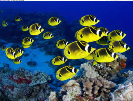 SCHOOLING_RACCOON_BUTTERFLY_FISH_HAWAII
