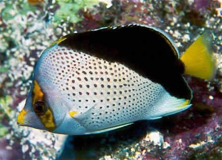 TINKERS_BUTTERFLY_FISH_3