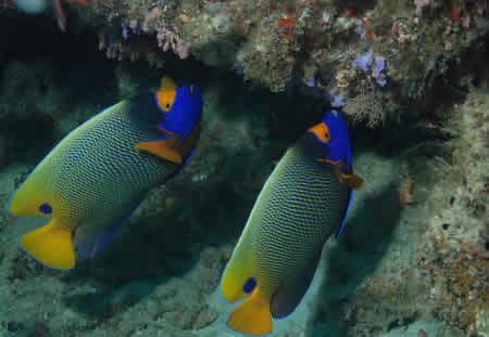 YELLOW_FACE_ANGEL_FISH