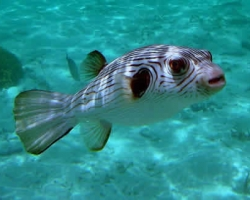 STRIPED_DOGFACE_PUFFERFISH