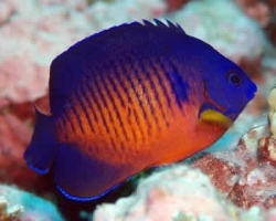 CORAL_BEAUTY_ANGEL_FISH