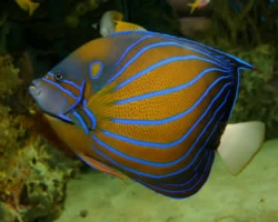 BLUERING_ANGEL_FISH