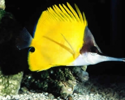 YELLOW_LONGNOSE_BUTTERFLYFISH