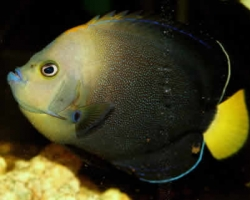 BLUESPOT_ANGEL_FISH_2