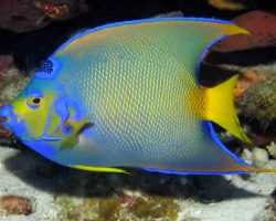 QUEEN_ANGEL_FISH_1