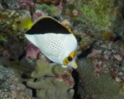 TINKERS_BUTTERFLY_FISH_2