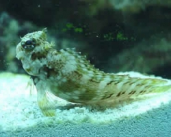 SCOOTER_BLENNY