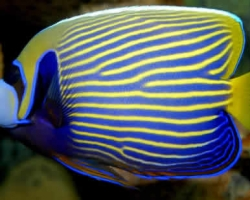 EMPEROR_ANGEL_FISH