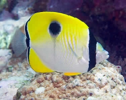 TEARDROP_BUTTERFLY_FISH