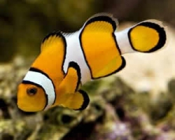 COMMON_CLOWN_FISH