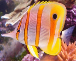 COPPERBAND_BUTTERFLY_FISH_2