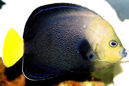 BLUESPOT_ANGEL_FISH_1