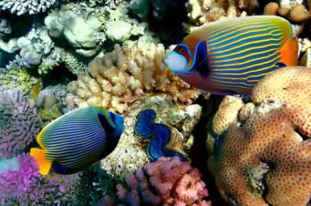 EMPEROR_ANGELFISH_IN_BAY_EILAT_RED_SEA