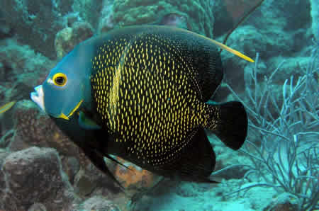 INTERMEDIATE_FRENCH_ANGELFISH