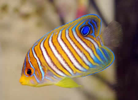 JUVENILE_REGAL_ANGEL_FISH
