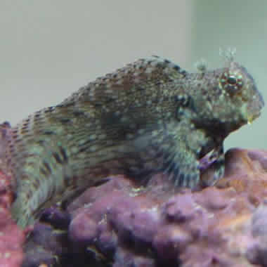 LAWNMOWER_BLENNY_2