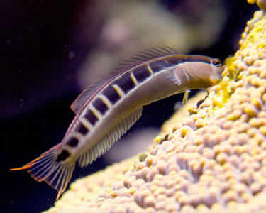 LINEAR_BLENNY