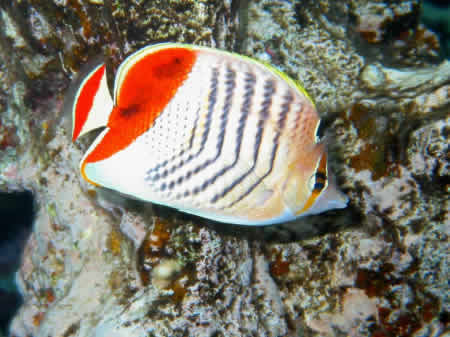 REDBACK_BUTTERFLY_FISH