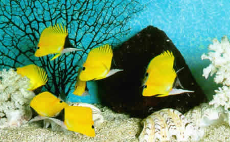 YELLOW_LONGNOSE_BUTTERFLY_FISHES