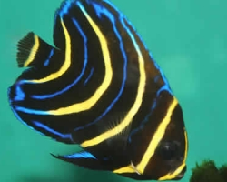CORTEZ_ANGELFISH_JUVENILE