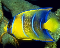 JUVENILE_BLUE_ANGEL_FISH