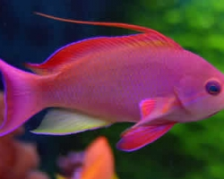 LARGE_MALE_ANTHIAS