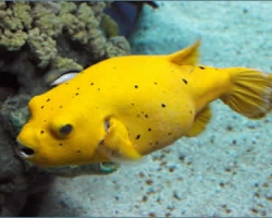 GOLDEN_PUFFER_FISH_1