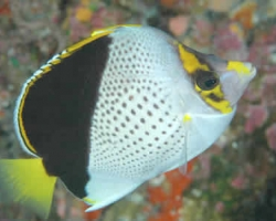 TINKERS_BUTTERFLY_FISH_1