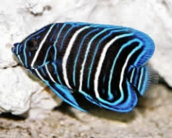BLUEFACE_ANGEL_FISH_JUVENILE