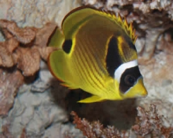 RACCOON_BUTTERFLY_FISH_CHAETODON_LUNULA