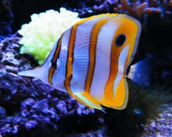 COPPERBAND_BUTTERFLY_FISH