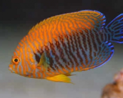 POTTERS_PYGMY_ANGELFISH_1